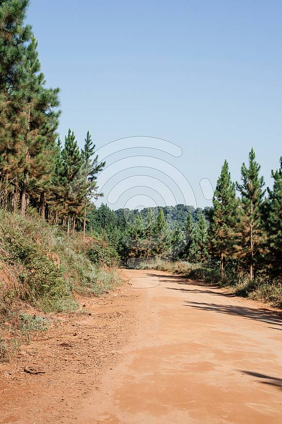 Dirt road between pine trees and mountains in Magoebaskloof