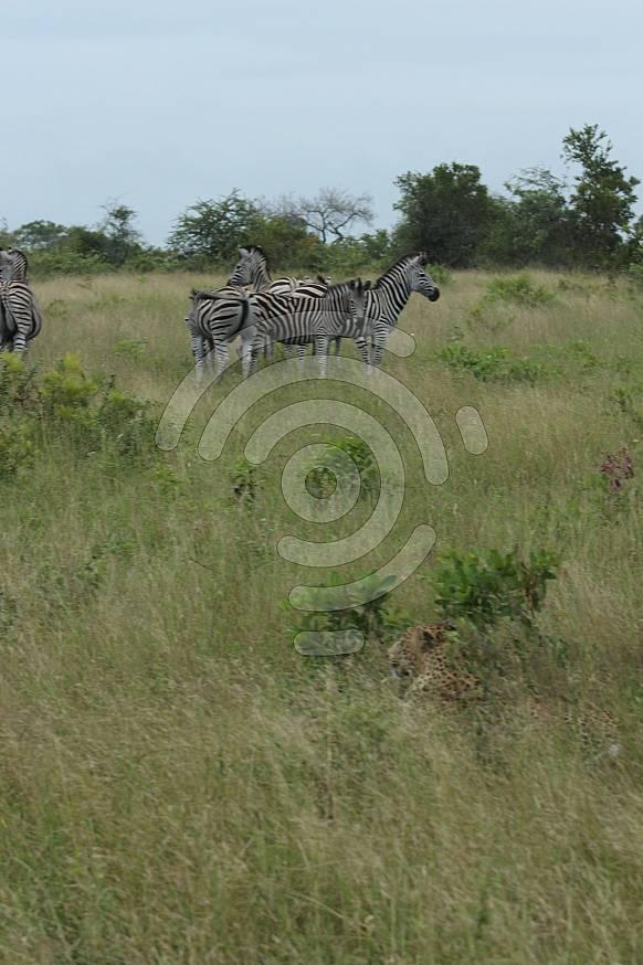 Leopard vs Zebra