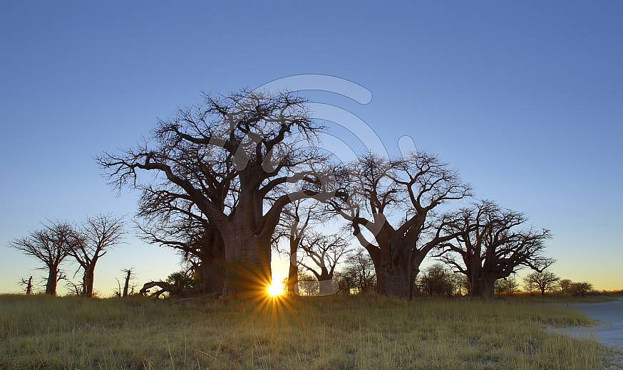Boabab Tree Sunset