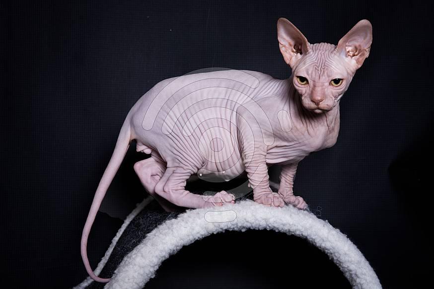 Kohana Sphynx Cat