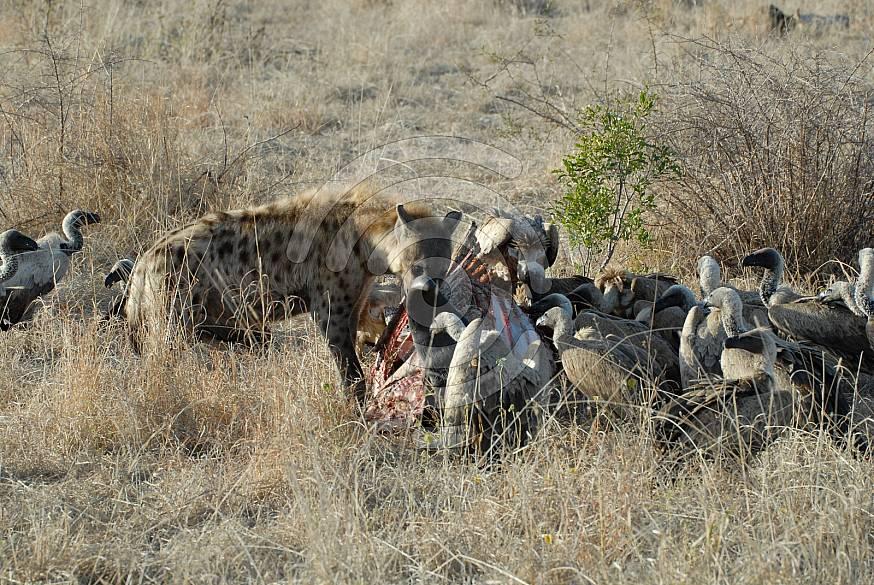 Vultures & Hyena