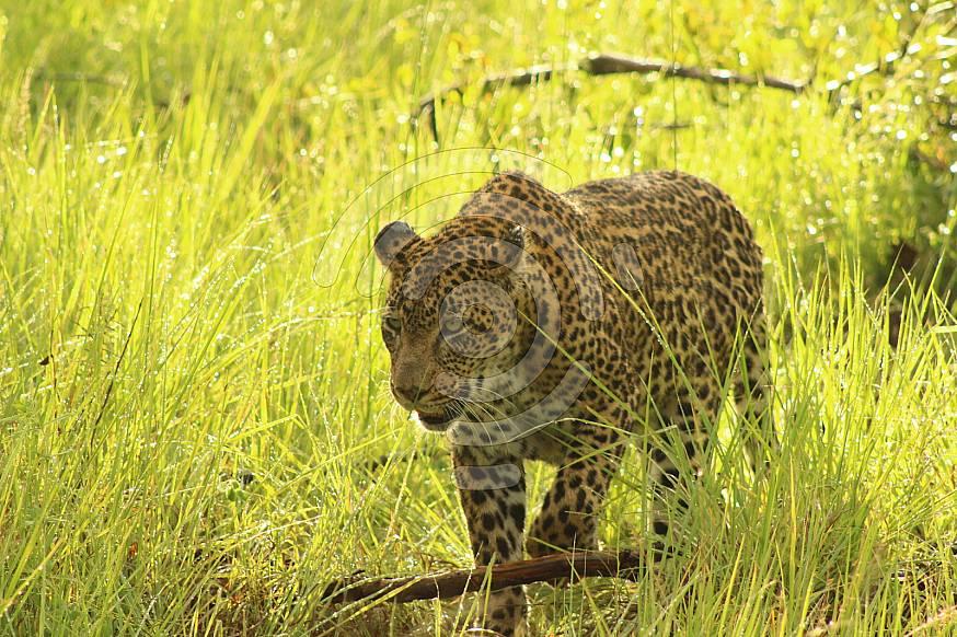 Leopard in wild
