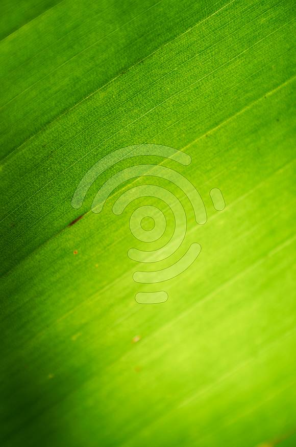 Background texture of a palm leaf