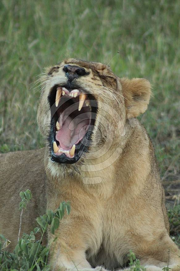 Female Lion yawning