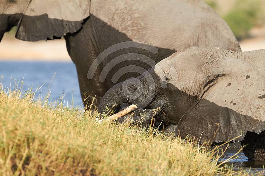 A herd of African elephants drinking water