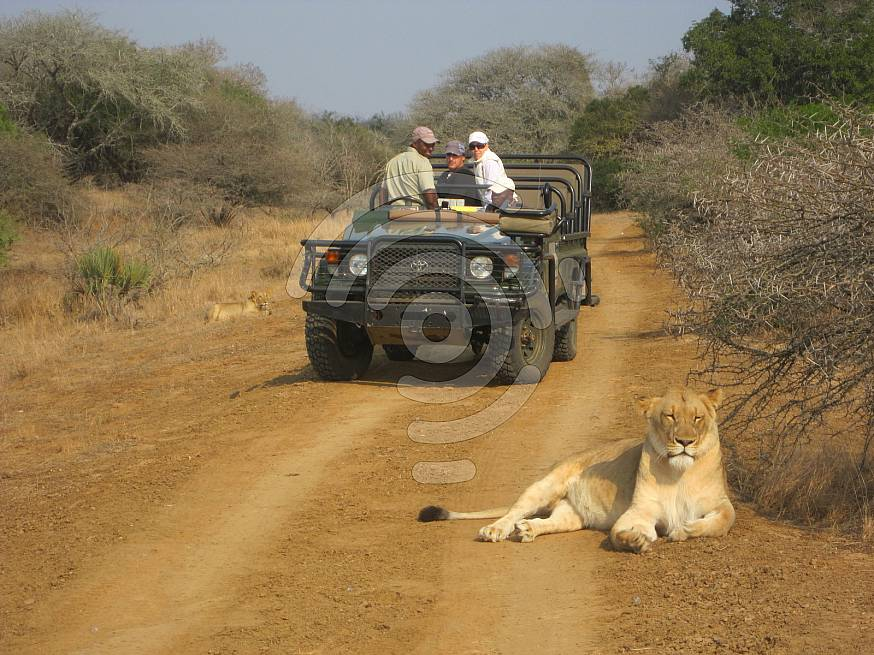 Lioness lying in front of a game vehicle