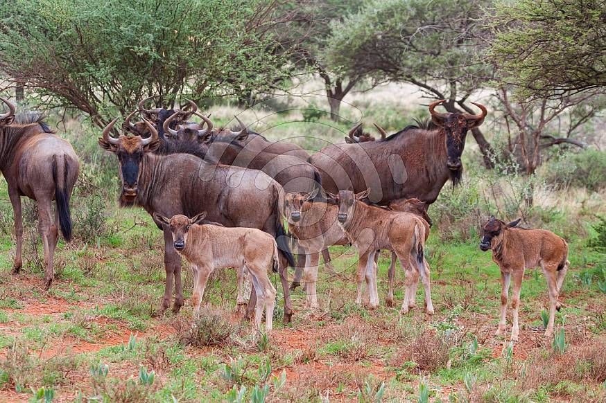 A group of blue wildebeest calfs