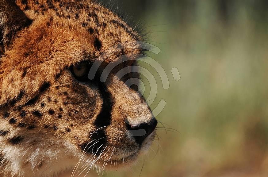 Close up of cheetah face