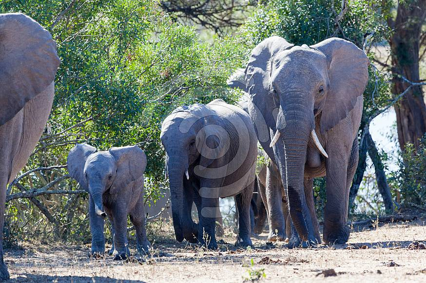 Elephant Group with baby.