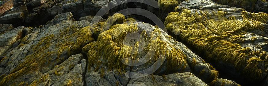 Sea weed growing on rocks