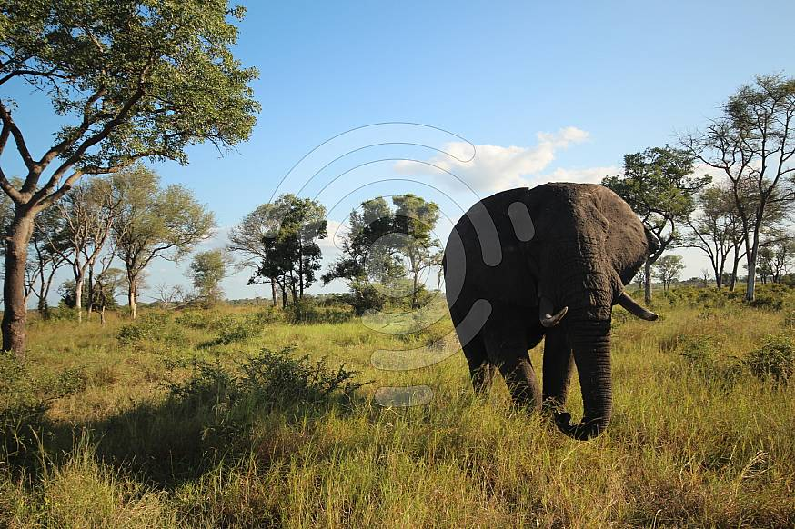 Elephant bull walking with his trunk down