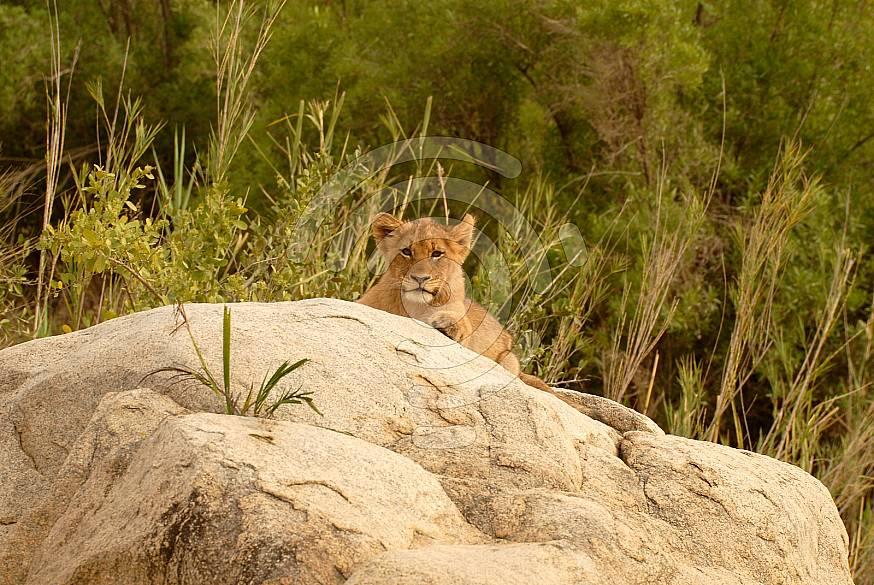 Lion Pride Cub